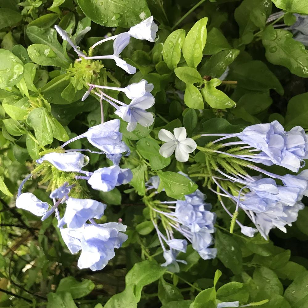 通り道の植え込みで咲いていたのですが、このお花の名前わかる方、いらっしゃらないでしょうか。 ※画像の向きが変わってしまいますが、右が下になります。 俯いて咲いていました