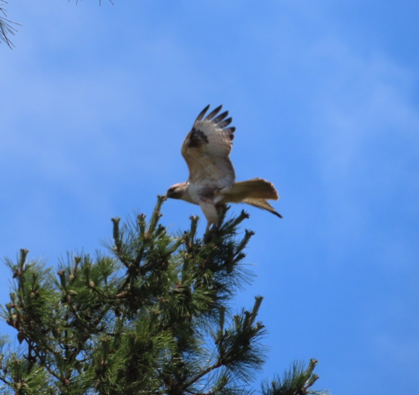 最近自宅付近で見る鳥ですが、 これはトビですか? 毎回近くを歩くとピーー!!と鳴いて 頭上まで襲ってきます(;^_^A