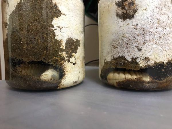 オオクワガタ この菌糸ビンは逆さまにしなくても大丈夫ですか? ビンの底に蛹室を作ると羽化不全になると聞いたのですが…