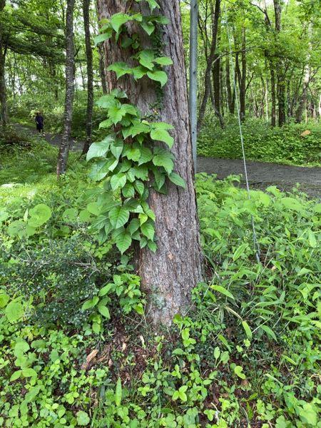 この植物の名前を教えて下さい! (木に巻きついているつる植物です)