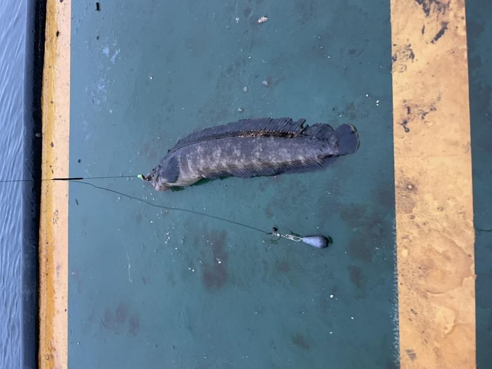 この魚はなんでしょうか? 釣った場所:函館港 サイズ:30cmくらい 特徴:ヌメヌメしている。ヒレには鋭いホネ(トゲ)がある。 ざっとみた感じ、ガジって魚の一種ではないかと思うのですが…