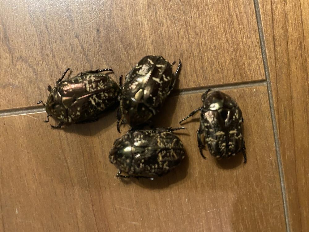 これらはなんて言う虫でしょうか? 昨年、カブト虫を飼っていたのですが、その卵は全部孵化失敗に終わりました。 その代わりに、その土の中に小さな幼虫がいて、試しに育ててみたら、写真の様な虫になりました。 カナブンでしょうか? 分かる人、お願いします。