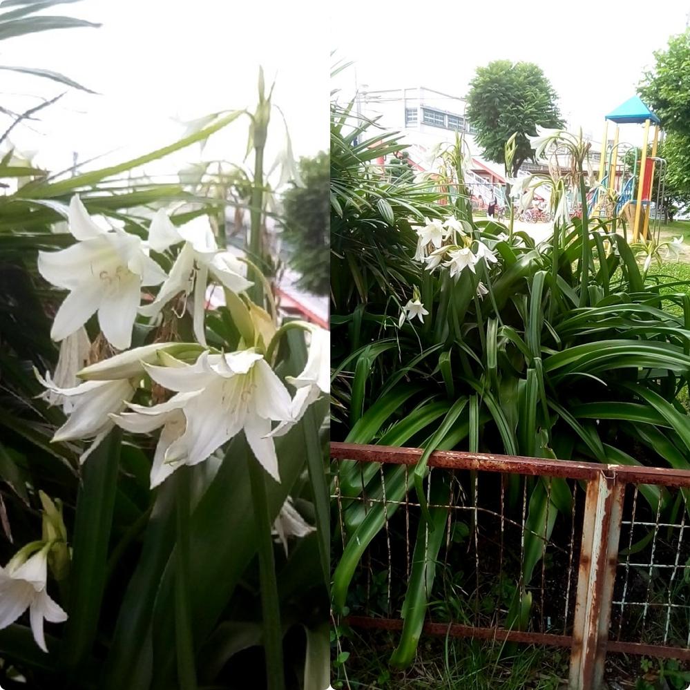 このアガパンサスの花の付き方と葉が似たユリのような白い花をつける植物の名前を教えて下さい。花径は5cm前後でユリより小さいです。