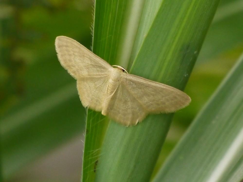 この蛾の名前を教えてください。お願い致します。