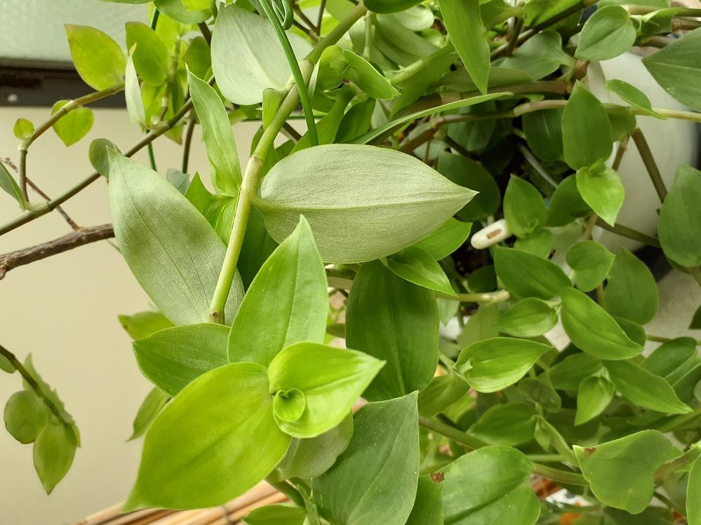 冬越ししたサンパラソルが2鉢あるのですが、そのうちの1鉢は元のサンパラソルと少し印象の異なる茎、葉がでてきました。 茎は折れやすくツルとはいえず、葉っぱの色も薄緑で、元のつやつや緑とは異なり別の植物のようにさえ見えてきます。(今、花はついていません。)考えられる原因をご教授宜しくお願いします。