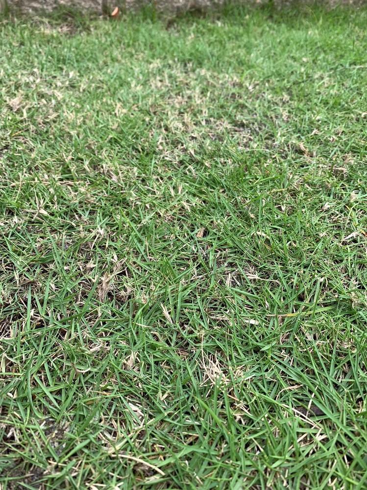 芝生のことで質問です。 4年間手入れという手入れは全くしてませんでしたが5月の連休からしっかり手入れするようになりました。(サッチング、エアレーション、目砂、施肥など) そこで質問ですが、写真のように枯れた茎が立っていて(約10mm)先のほうから小さな葉が出てきている箇所がすごく多く枯れているように見えます。 これは目砂をして茎を埋めたほうが良いのでしょうか? よろしくお願いします。