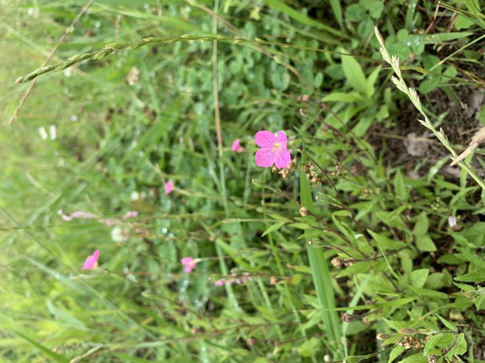 このピンクの花の名前を教えてください