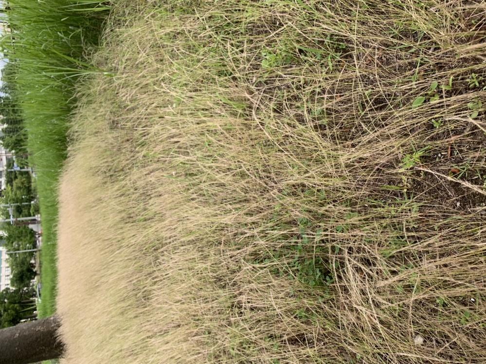 この稲みたいな植物の名前を教えてください。