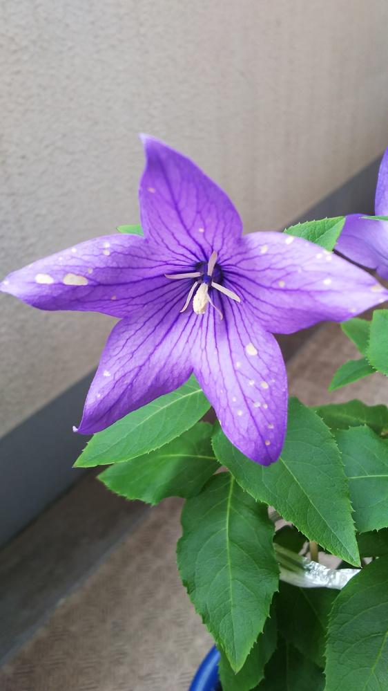 こんにちは。 園芸初心者です。 桔梗の花に、クリーム色の斑点が出来てしまいました。 葉は問題ありません。 対処方法ご教示頂きたく、 お願いします。