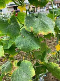 キュウリの葉が黄色く枯れてきています。 病気でしょうか?対処法を教えてください。