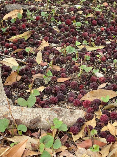 写真の木の実と植物の名前を教えてください。 たべられますか? 画像が2枚貼り付けられないので、木の実の写真でも、質問させていただきます。 よろしくお願いします。