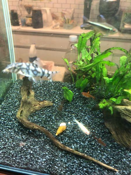 この熱帯魚の名前を教えてください。