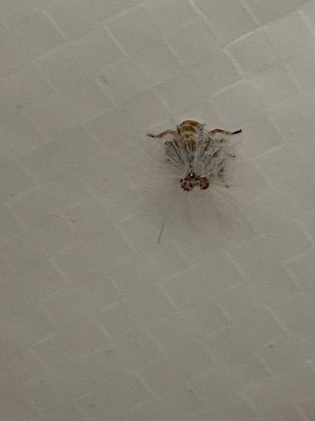 見づらいのですが、この背中(お尻)に花のように白い毛が生えた虫はなんですか?