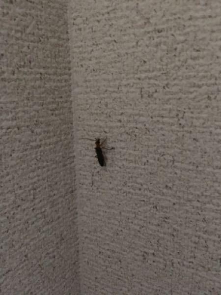写真が見えづらくて申し訳ないのですが家の中にいた虫です。背は黒くて腹が黄色で目がクリクリした2cmぐらいの虫なのですが何か分かる方はいらっしゃいませんか?
