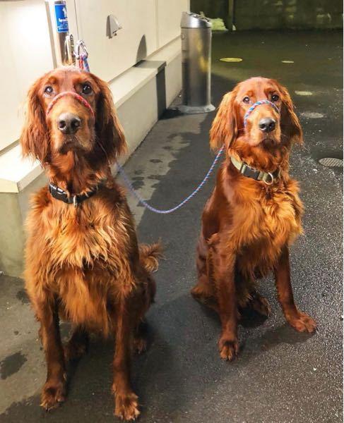 犬の名前について。 新しく迎える子犬の名前が浮かばない為 質問させて頂きます。 犬種はアイリッシュセッター、 赤い毛色が美しい長毛種です。 現在既に2頭飼育していて、3頭目です。 2頭の名前はもみじとかえで。 先代のアイリッシュは夕陽でした。 赤色を連想させるような 葉、花、実、等から、良い案がありませんでしょうか? 回答お待ちしております。