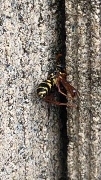 顔がなくてわかりにくいと思いますが、この蜂は何蜂か教えてください。
