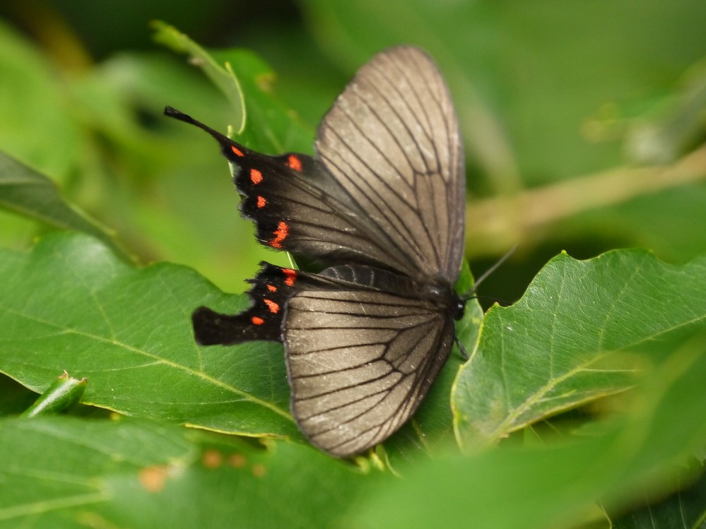 この蝶の名前を教えてください。クロアゲハかと思うのですが、少しちがうような・・・よろしくお願いいたします。