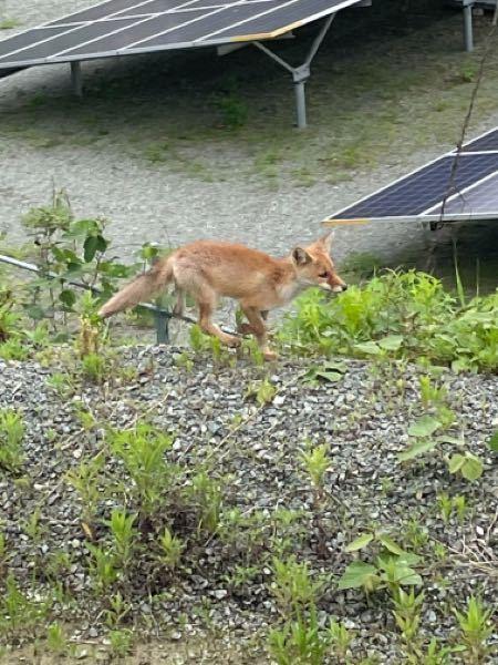 熊本で見たんですけどこれキツネですか? キツネだったらなにキツネですか?