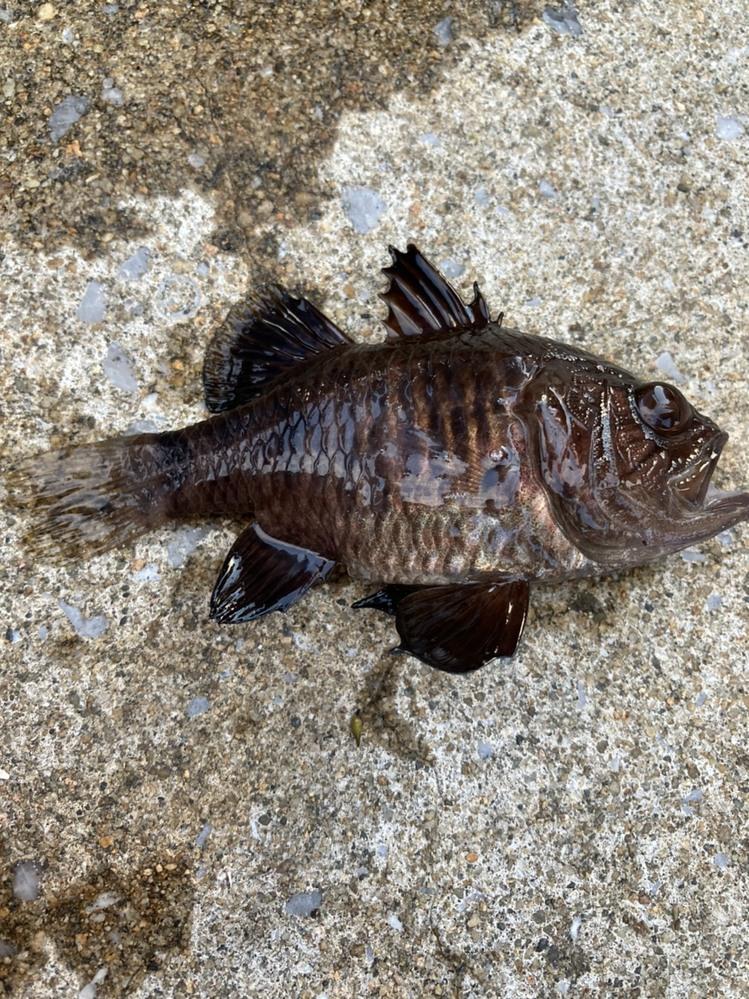 この魚はなんという名前ですか? 桟橋からサビキでアジ釣りをしている時に底の方でかかりました。 サイズは小さめで見た目深海魚っぽいですが、釣った場所は比較的浅めです。