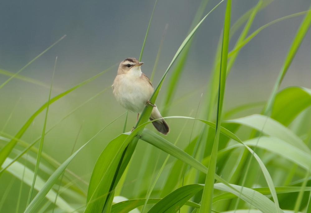 今日 仏沼で撮影できた鳥です これが オオセッカ でしょうか 教えてください