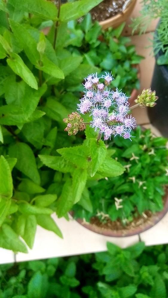 この花はアゲラタムでしょうか?それともユーパトリウムでしょうか?あるいはそれ以外でしょうか? 一昨年播種し昨年宿根し昨年の一株から一年で鉢がパンパンになるくらい増えました。この他にもこぼれ種発芽分をポット上げしています。