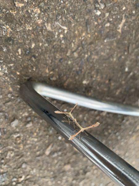 虫に詳しい方教えてください。 この虫はなんという虫ですか?