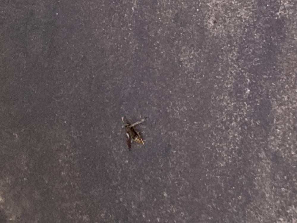 ⦅至急⦆コイン100枚! この蜂の種類わかりますか…? 蜂に刺されてしまい、その場に死んでいた蜂なのですが、スズメバチか、アシナガバチのようなものかなと思っています。 画質が悪いのは重々承知ですが、似ている蜂でも良いので教えてくださると嬉しいです。