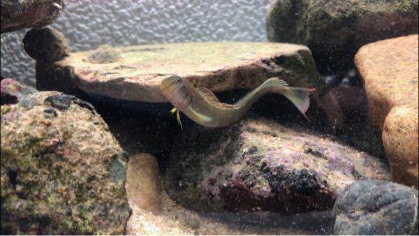 最近磯で綺麗な魚を捕まえました☺️ 家に持ち帰り育てているのですが、なんという名前の魚か分からず是非この魚の名前を知りたく思ってます! どなたかこの魚の名前を教えていただけないでしょうか?