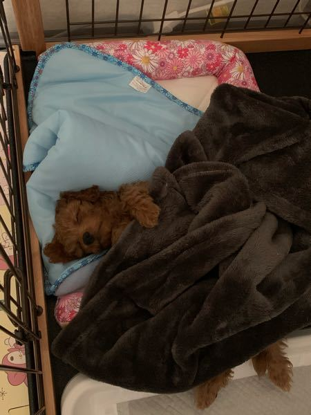 生後2ヶ月のトイプードルの犬臭が凄まじいです。 自分が寝ている時にプードルが顔の周りをウロウロして顔全体を唾液だらけになるまで舐め回して臭いです。 歯ブラシを噛ましたり、乳酸菌のガムを噛ませた...