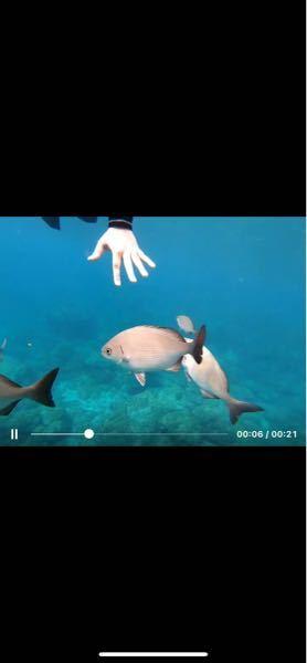 この魚の名前が知りたいです。 神津島でシュノーケリングをしてた時ずっと私の下あたりについてきていて不思議でした。