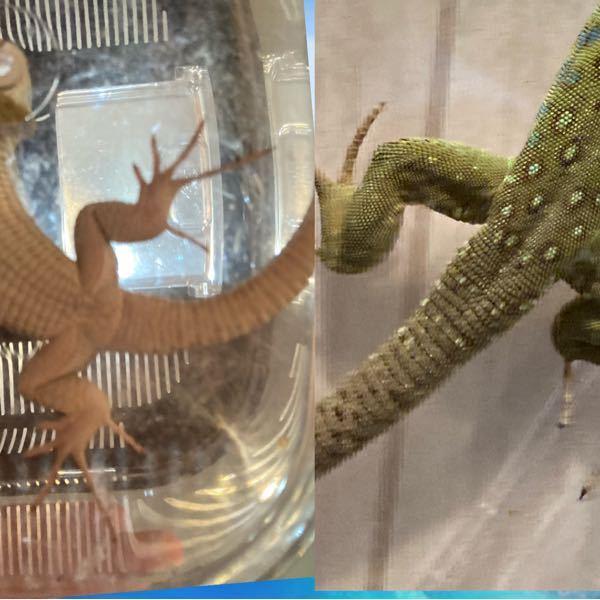 ホウセキカナヘビ オスメス判断お願いします! 生後4〜5ヶ月ほどです