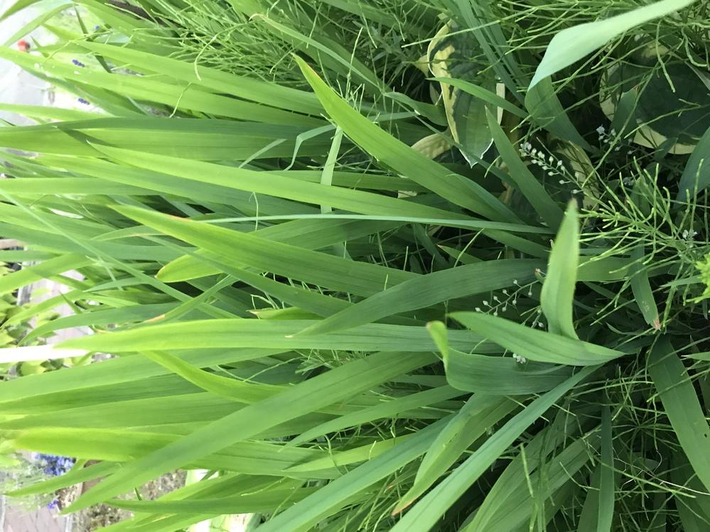 この植物の名前を教えてください 畑に急に生えだしてきました ※縦長の緑の葉っぱです