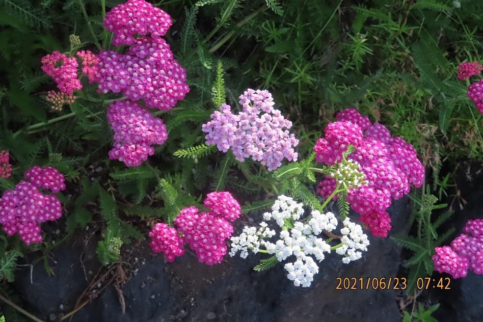 この花の名前教えてください。よろしくお願いします。