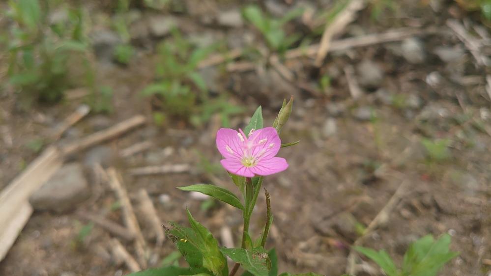 御世話になります 自分でネットで調べたのですがわからなくて 花に詳しい方この花の名前教えて下さい