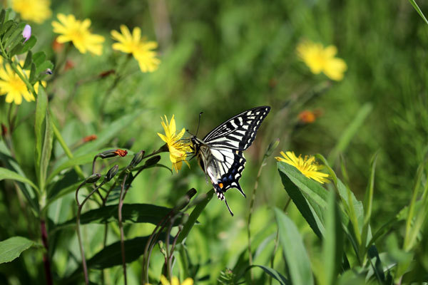 広島から2つ投稿します。最初はアゲハチョウが蜜を吸っている植物はオオジシバリでしょうか?