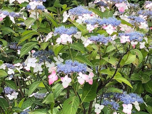 画像の紫陽花の名前をご存じの方、教えてください。