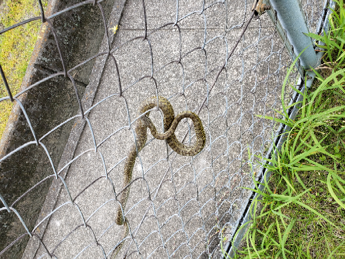 このヘビは何というヘビですか? ネットで調べてみましたがよく分かりませんでした。 気が動転して顔とかキレイに撮れませんでしたがどなたかお教え下さい!