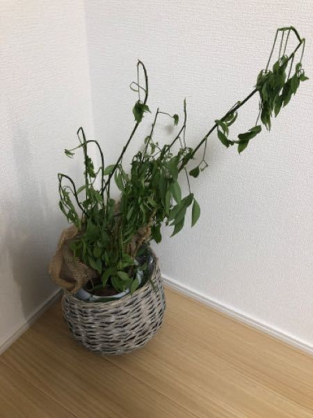 この観葉植物の名前はわかりますか? 枯れてしまった原因もわかりますか?