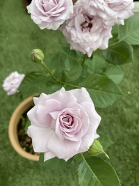 ミニ薔薇、バラの種類について  今育てているミニ薔薇の種類が 何だったか忘れてしまい わかる方がいらっしゃいましたら お教えいただけますと嬉しいです。  よろしくお願い致します。