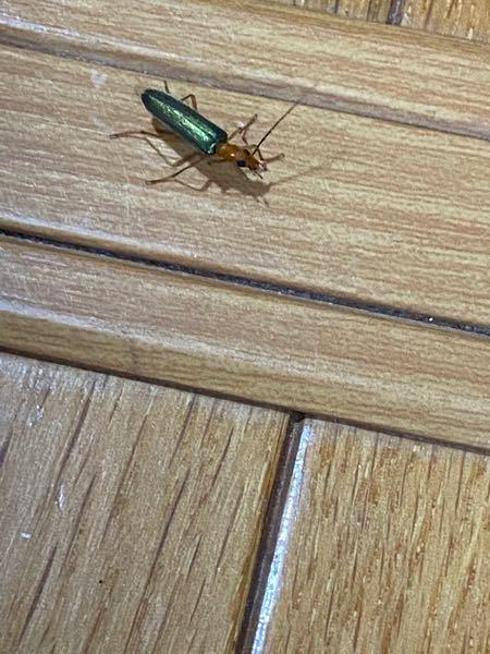 この虫は何??? 家の中に5匹ぐらい居る…どこから来たの!!!?!
