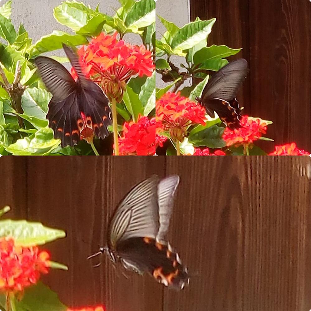 このゼラニウムの花の蜜を吸っている蝶の名前を教えて下さい。アゲハチョウより1~2cm大きいと思います。