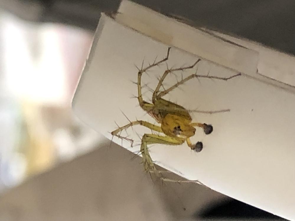 教えてください。 この蜘蛛は何という蜘蛛ですか? 今朝家の中で見つけました。 おそらく昨日、庭の切り花を部屋に持ち込んだ時に一緒に入り込んだのかと思われます。