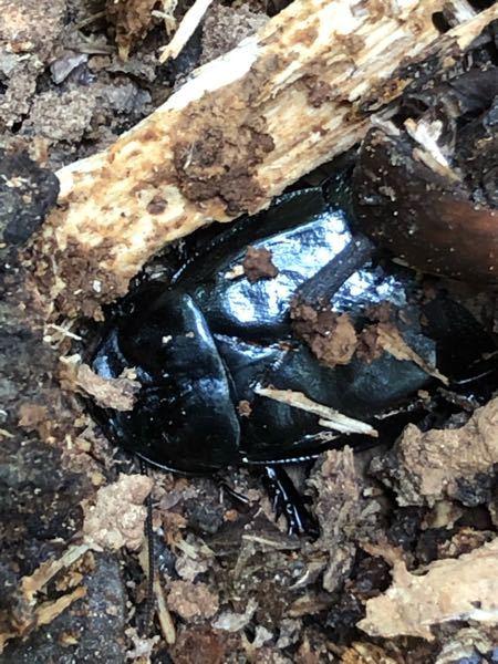 これはなんて言うゴキブリでしょうか?