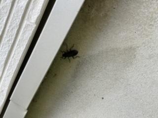 これ何の虫ですか?クワガタですか?子供が飼いたいと言いますがゴキブリは嫌なので、教えて下さい