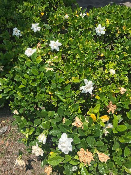 この花はなんじゃろうか? 甘い香りが気に入りましたので近所に植えます。