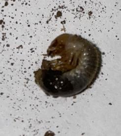 この幼虫はなんの幼虫ですか?体長は1センチほどです。