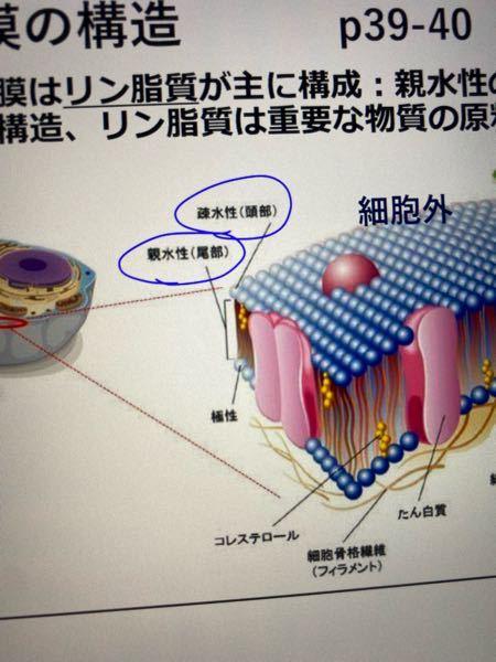 生物の細胞膜の質問なのですが、この資料の疎水性と親水性の部分は逆な気がするのですが正解を教えてください。