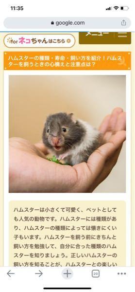このハムスターの品種はなんという名前でしょうか? 一目惚れしてしまったのですが、このハムスターがたまたまこういう顔なだけなのでしょうか、、?