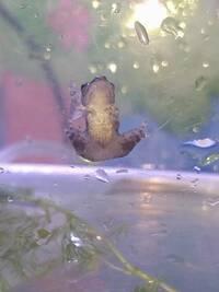カエルの種類わかる方いますか? 子どもがカエルの子ども?をもらってきました。お世話するにも、飼い方がわからないので調べたいのですが、カエルの種類?がわからず、、。大きさは1.5cmくらいです。  写真見にくくてすみませんが、分かる方教えて頂けると助かります。
