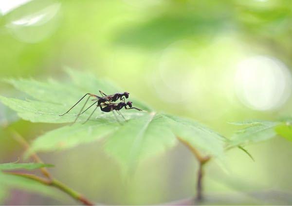公園で、目の前に交尾中の虫が現れました。 蟻に羽根が生えているようでですが、蟻よりずっと大きいです。 虫の名前を教えて下さい。 よろしくお願いします。